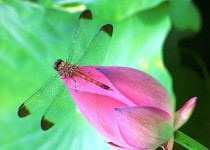 Image of dragonfly on waterlily