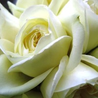Image of a white rose